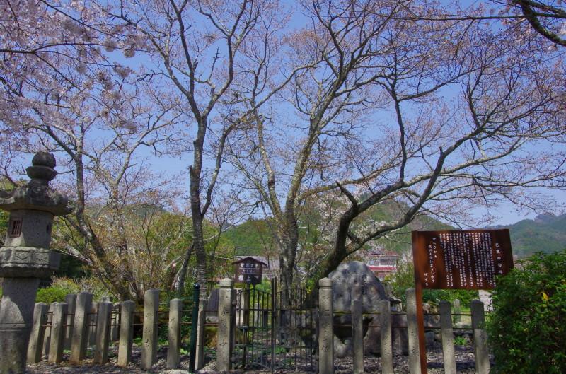 世尊寺 壇上桜