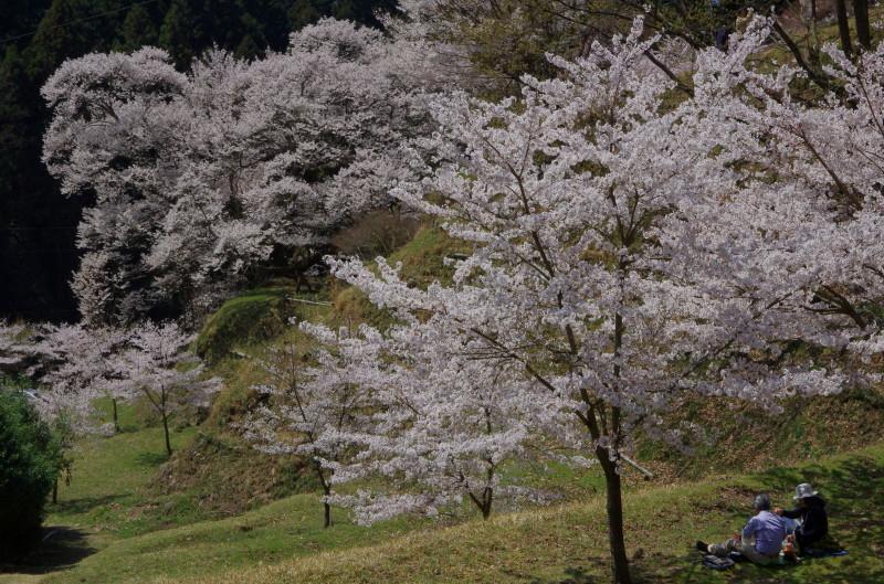 仏隆寺 千年桜
