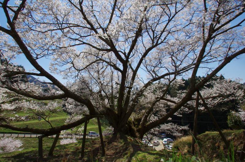 仏隆寺 千年桜 上から