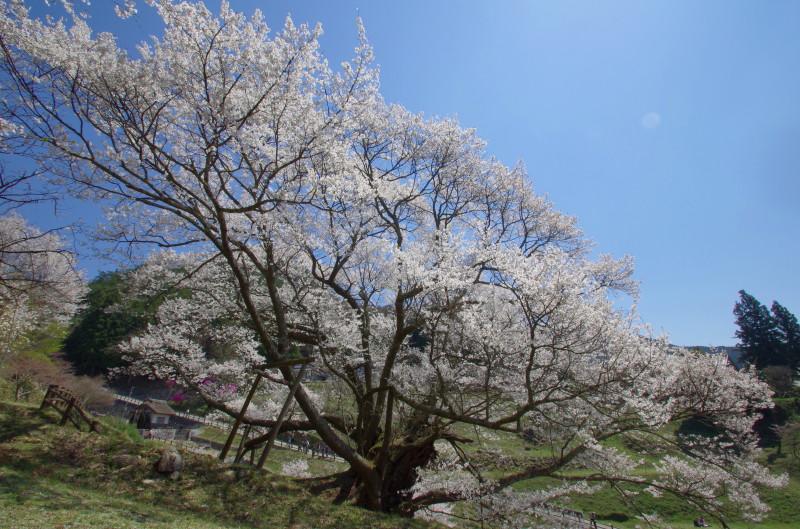 仏隆寺 千年桜 広角