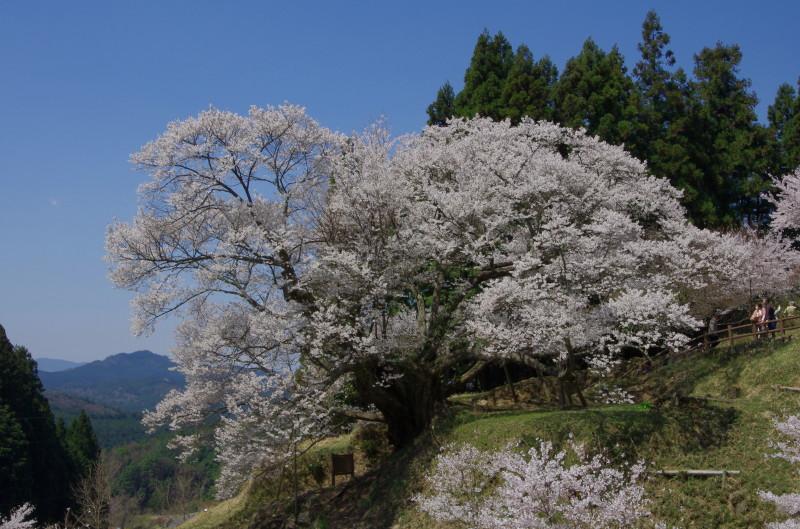 仏隆寺 千年桜 山並み