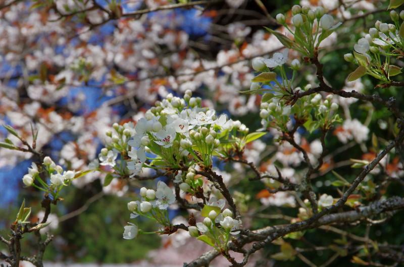 仏隆寺 長十郎梨の花