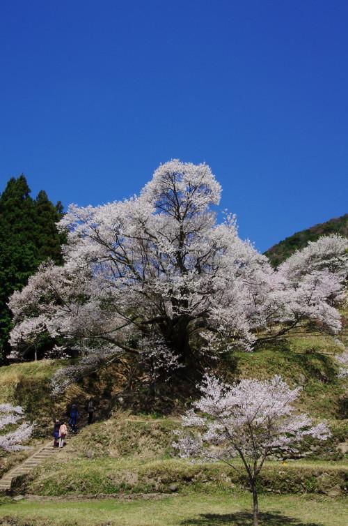仏隆寺 千年桜 坂から
