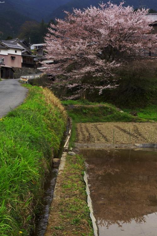 うだ 苗床と桜