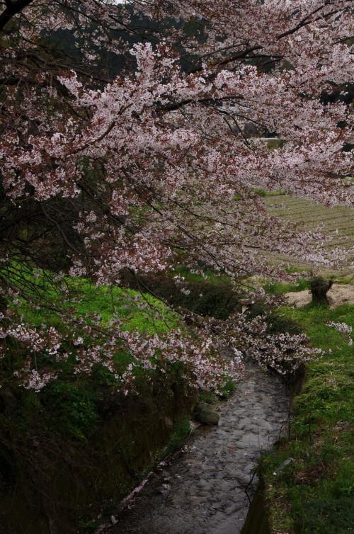うだ 川岸の桜