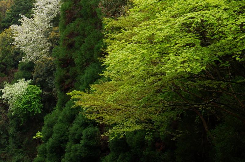 まつおでら 桜と新緑1