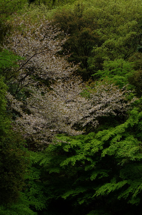 まつおでら 桜と新緑