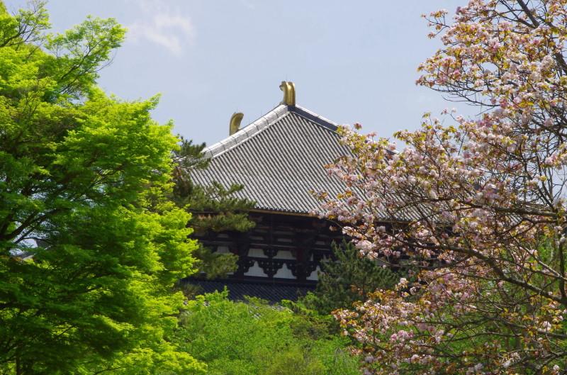 奈良の八重桜 大仏殿の甍