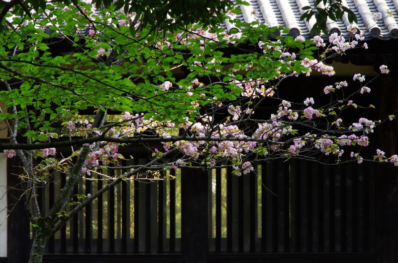 奈良の八重桜 興福寺湯屋
