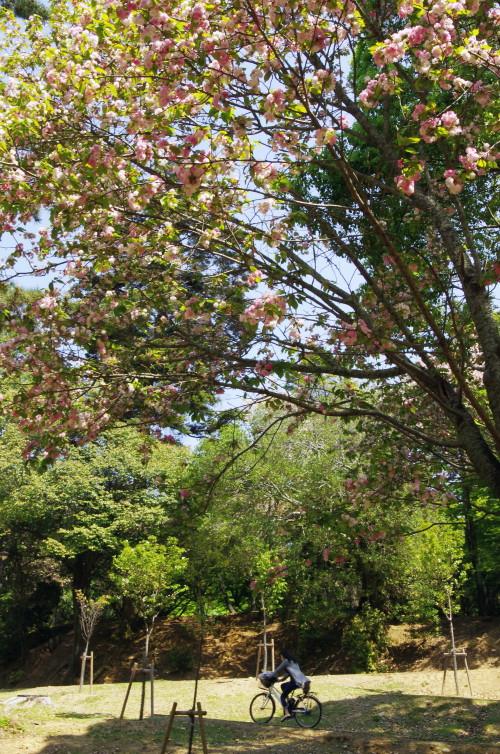 奈良の八重桜.自転車
