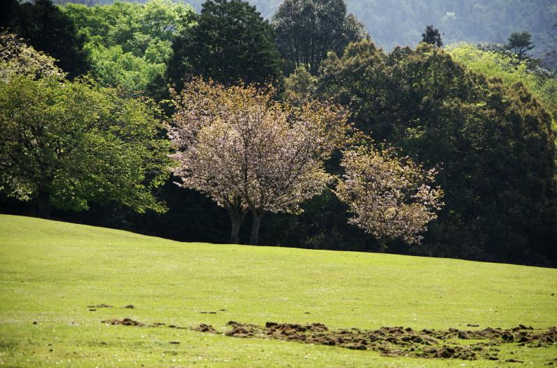 奈良の八重桜 飛火の