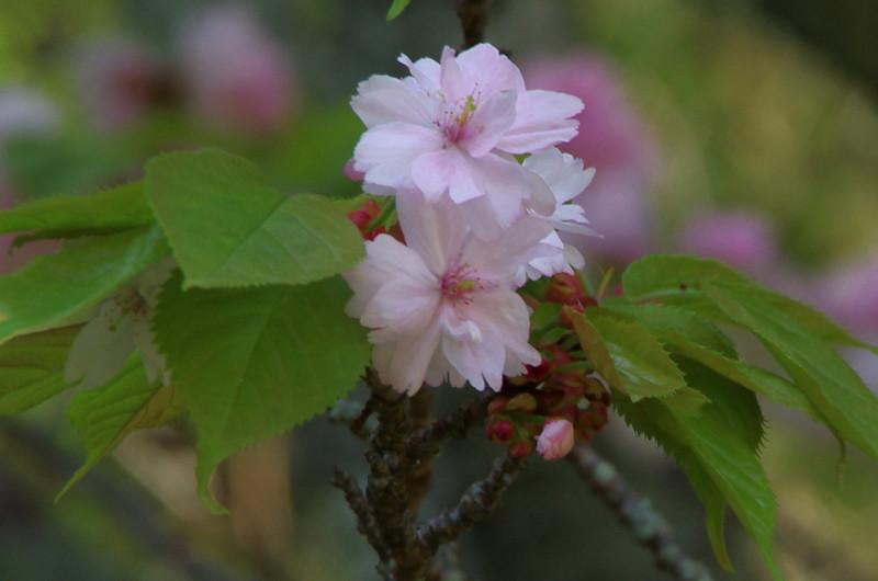 奈良の八重桜up