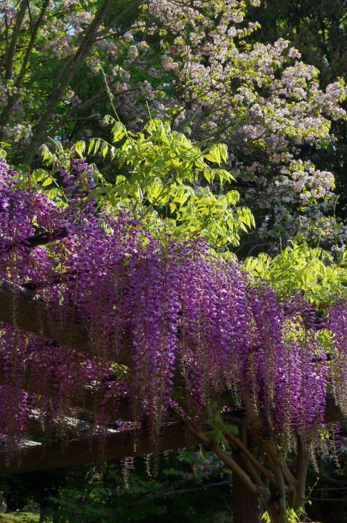 奈良の八重桜と藤の花