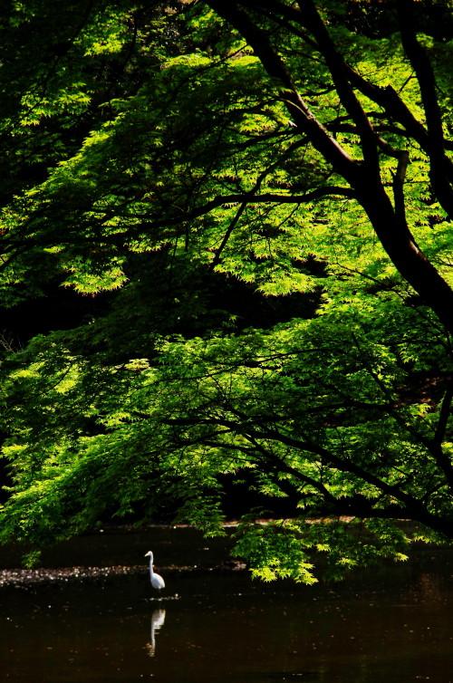 新緑 鷺池_1