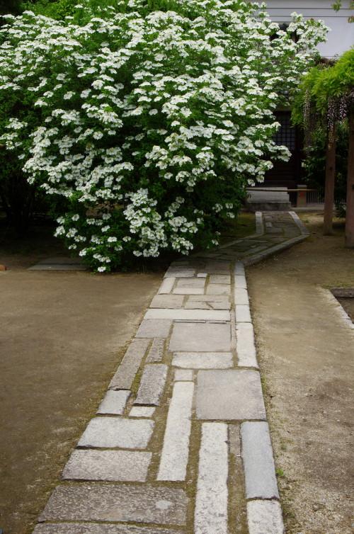 瓊花(けいか)の花1