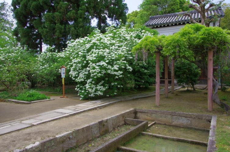 瓊花(けいか)の花
