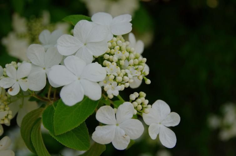 瓊花(けいか)の花 花芯