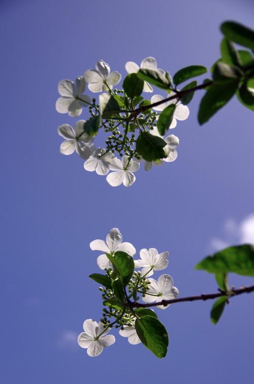 瓊花(けいか)の花 下から