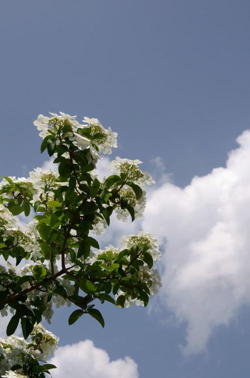 瓊花(けいか)の花4
