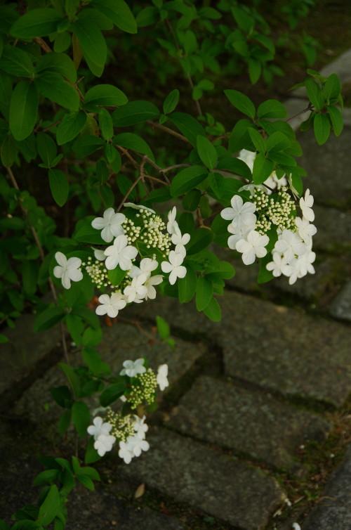 瓊花(けいか)の花3