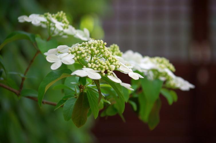 瓊花(けいか)の花2
