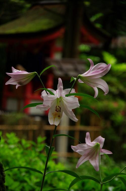 ささゆり 市杵島姫神社