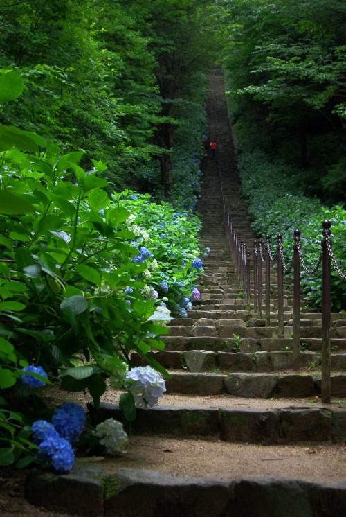 ふたかみこうえん紫陽花の階段