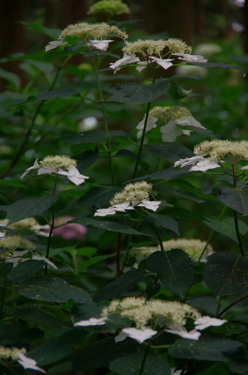 たかま あじさいの花1