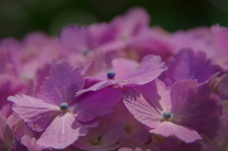 たかま あじさいの花5_1
