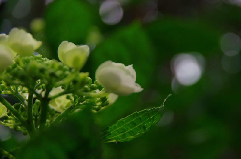 たかま あじさいの花4_1