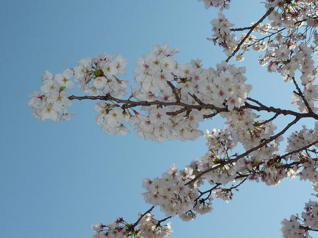 2014_sakura_0407_1.jpg