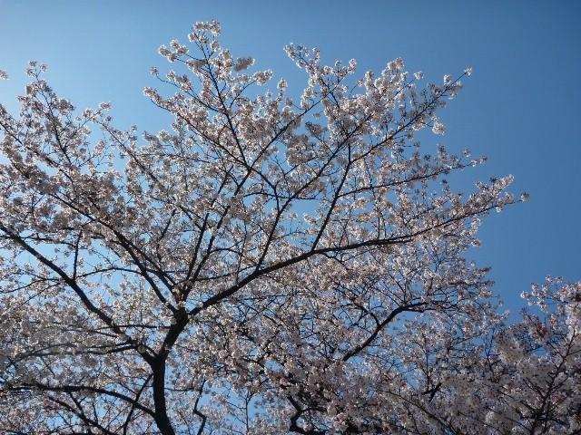 2014_sakura_0407_2.jpg