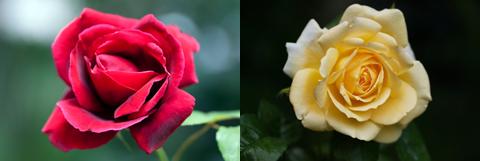 roses1_051814
