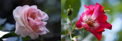 roses2_051814