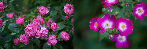 roses4_051814
