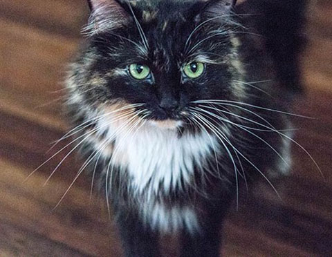 sophie-smith-longest-fur-cat-guinness-world-records-whiskers