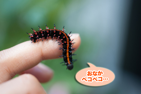 tsumaguro1_080214