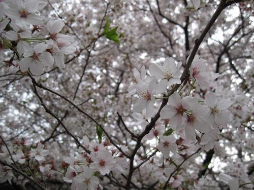2014春☆足高山公園下駐車場の桜