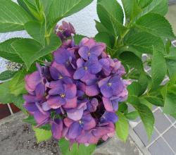 紫陽花 ●