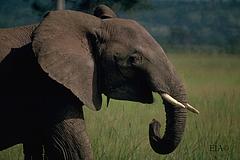 EIA_Elephant_01