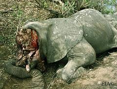 Poached elephant_ Selous_ Nov 2009 - credit EIA 2.jpg