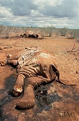 1988_Kenya_Tsavo_National_Park_Poached_Elephant_01