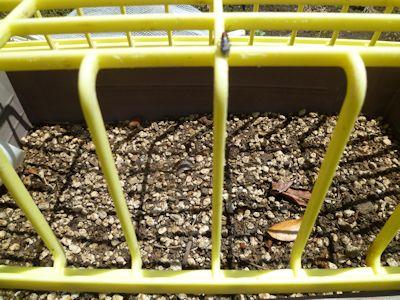 カボチャの発芽はまだです