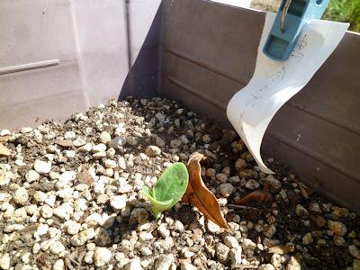 鶴首かぼちゃの芽が出た