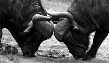 牛 対決 牛歩