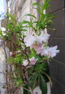 オシドリ桜3800+税