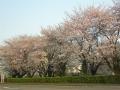 0327sakura-002.jpg