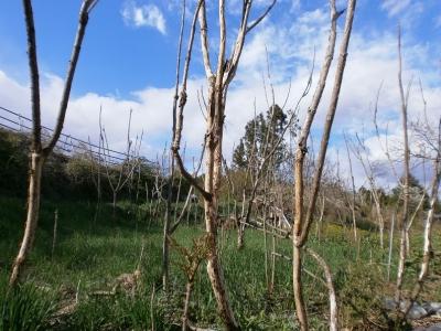 タラの木群