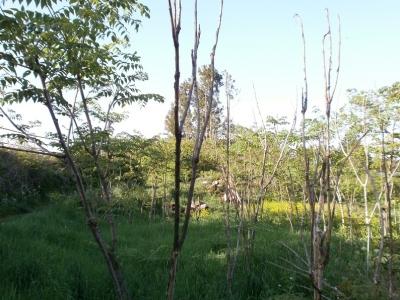 タラの木の丘緑