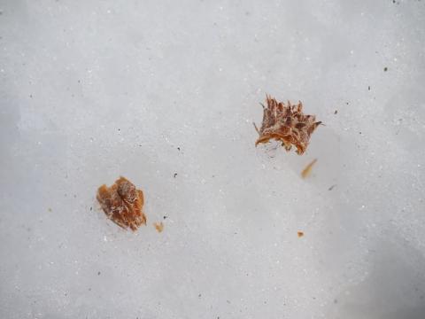ムササビ松芽食痕140307-1